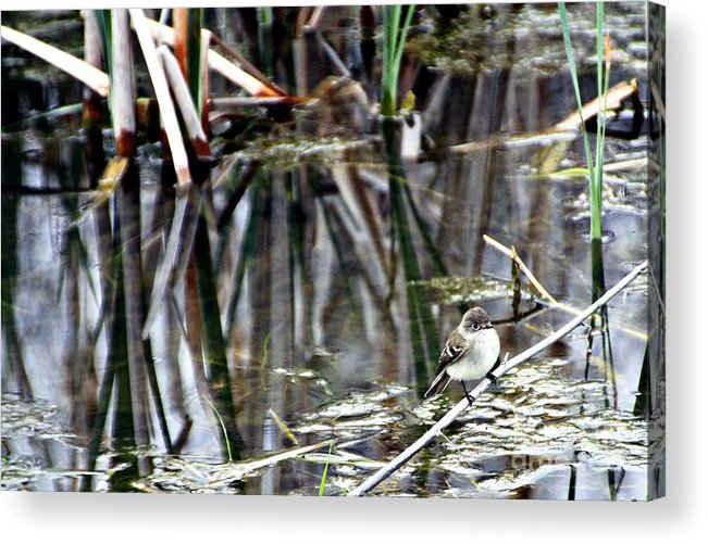 Ruby-crowned Kinglet Birds Acrylic Print featuring the photograph The Watch by Elizabeth Winter
