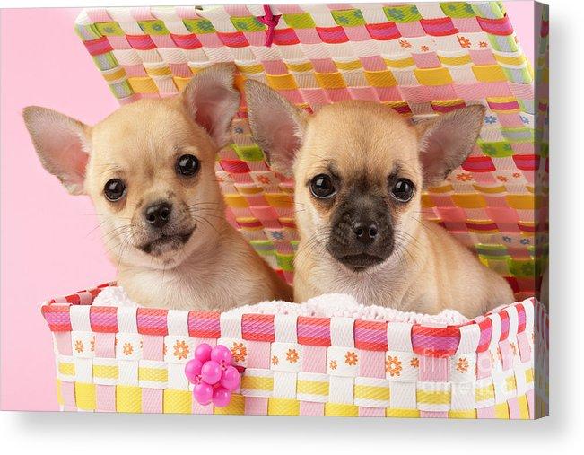 Puppy Acrylic Print featuring the digital art Two Chihuahuas by Greg Cuddiford