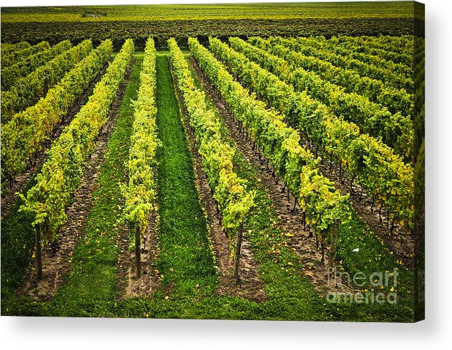 Row Acrylic Print featuring the photograph Vineyard by Elena Elisseeva