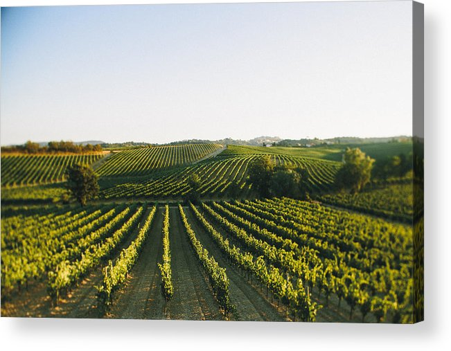 Fine Art Acrylic Print featuring the photograph Vineyard Patchwork by Clint Brewer