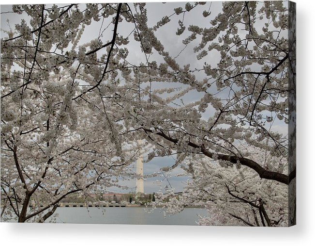 America Acrylic Print featuring the photograph Washington Monument - Cherry Blossoms - Washington Dc - 011323 by DC Photographer