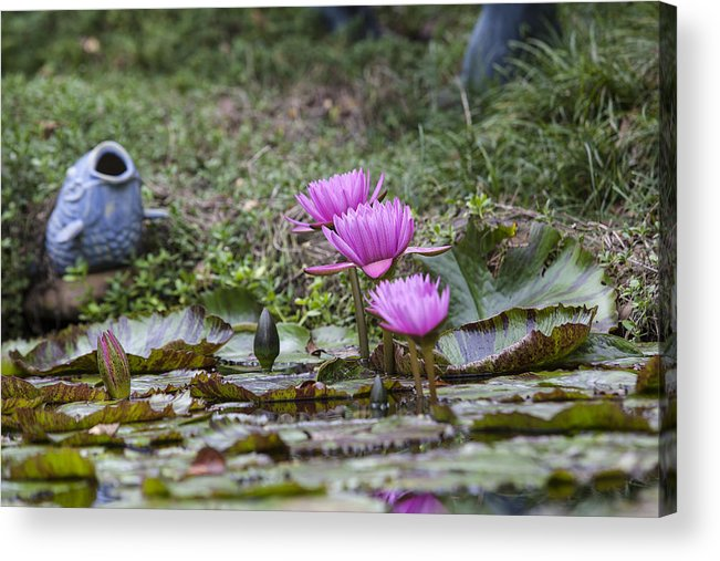 Water Lilly Acrylic Print featuring the photograph Water Lilly Trio by Charles Warren