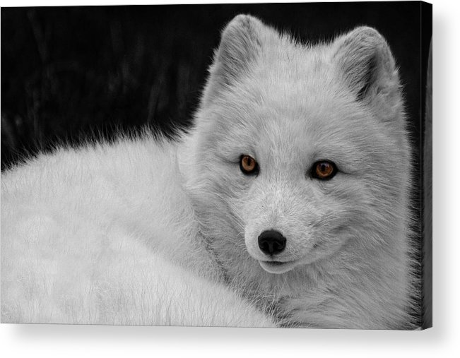 Wee Arctic Hunter Acrylic Print featuring the photograph Wee Arctic Hunter D3613 by Wes and Dotty Weber