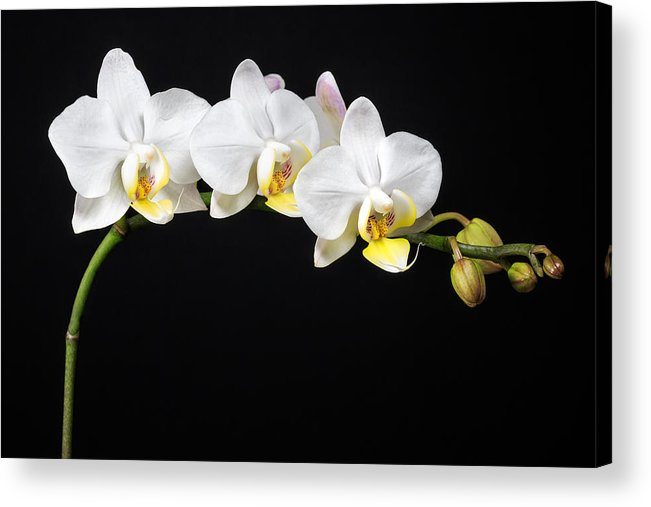 3scape Photos Acrylic Print featuring the photograph White Orchids by Adam Romanowicz