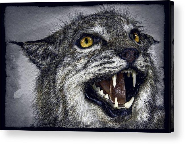 Wildcat Acrylic Print featuring the photograph Wildcat Ferocity by Daniel Hagerman
