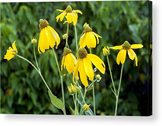 Ratibida Pinnata Acrylic Print featuring the photograph Yellow Cone Flowers Rudbeckia by Rich Franco