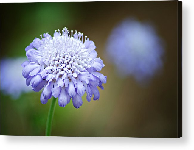 Butterfly Blue Pincushion Flower Acrylic Print featuring the photograph 1205-8794 Butterfly Blue Pincushion Flower by Randy Forrester
