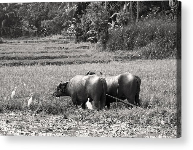 Agriculture Acrylic Print featuring the photograph Water Buffalo by Jane Rix