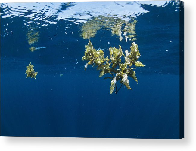 Alga Acrylic Print featuring the photograph Tropical Seaweed by Alexis Rosenfeld