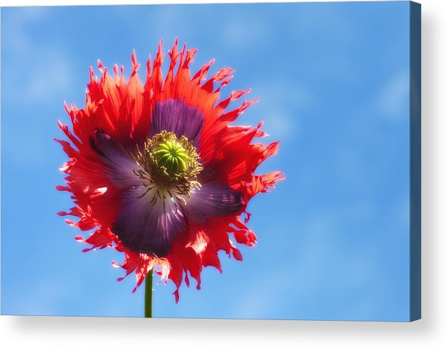 Blossom Acrylic Print featuring the photograph A Colorful Flower With Red And Purple by John Short