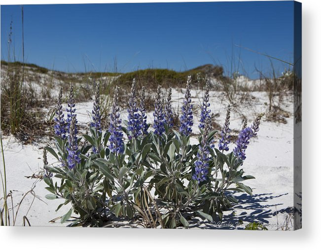 Beach Acrylic Print featuring the photograph Beach Flora by Charles Warren