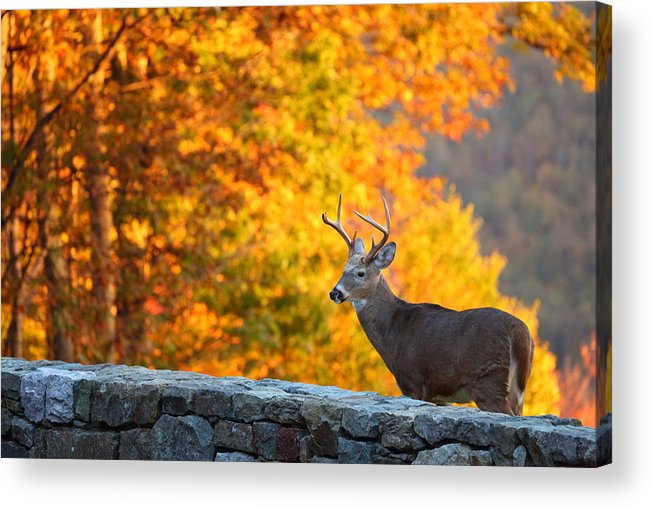 Metro Acrylic Print featuring the photograph Buck In The Fall 06 by Metro DC Photography