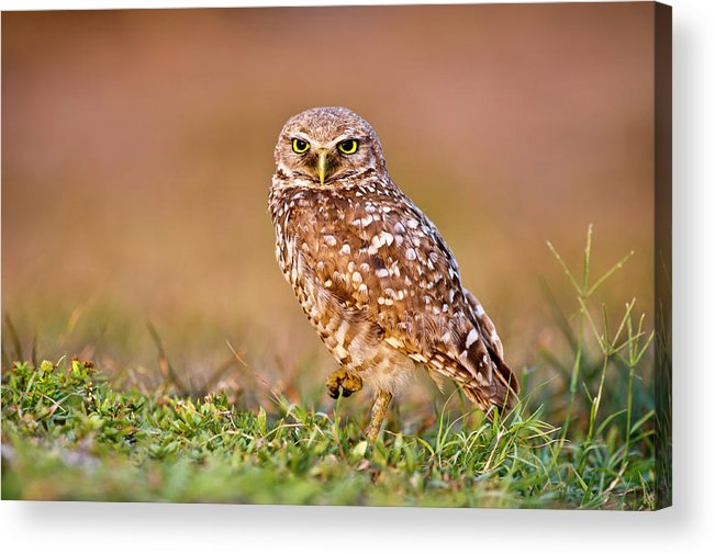 Horizontal Acrylic Print featuring the photograph Burrowing Owl by TNWA Photography