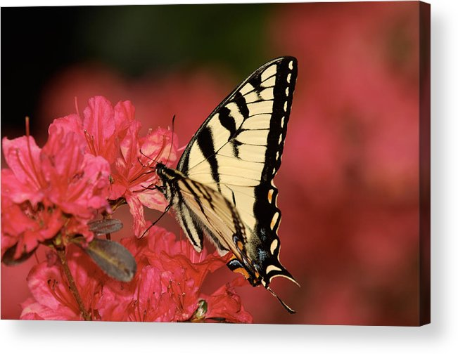 Butterfly Acrylic Print featuring the photograph Eastern Yellow Tiger Swallowtail And Azaleas by Lara Ellis