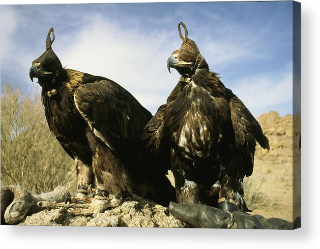 Commonwealth Of Independent States Acrylic Print featuring the photograph Hooded Eagles Stand Ready For Hunting by Ed George
