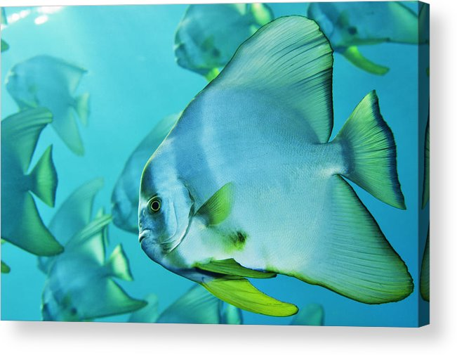 Underwater Acrylic Print featuring the photograph Hunting For Plankton, A School by Brian J. Skerry