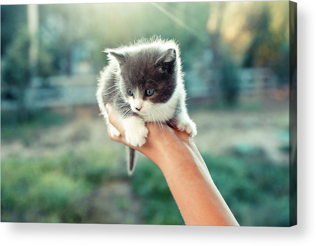 Horizontal Acrylic Print featuring the photograph Kitten In Hand, 2010 by Emily Golitzin