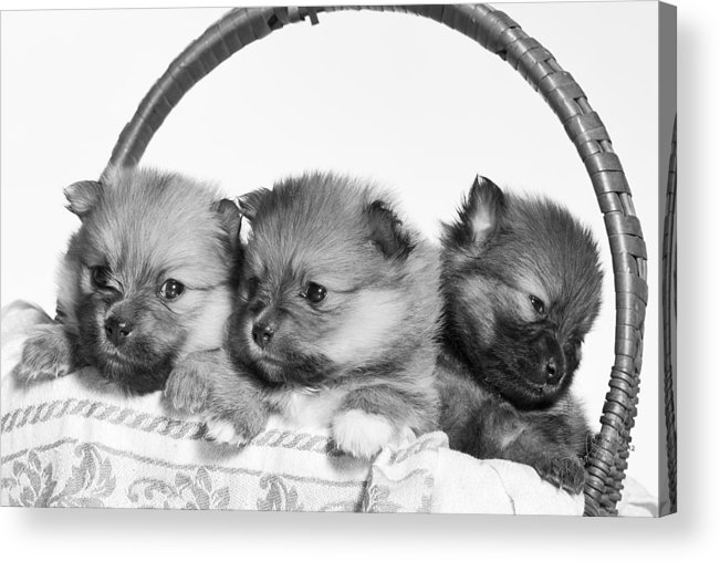 Puppies Acrylic Print featuring the photograph Pomeranian by Everet Regal