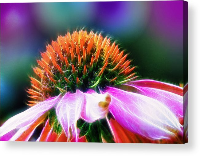 Flower Acrylic Print featuring the photograph Purple Coneflower Delight by Bill Tiepelman