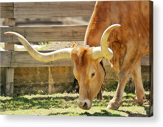 Long Acrylic Print featuring the photograph Texas Longhorns - A Genetic Gold Mine by Christine Till