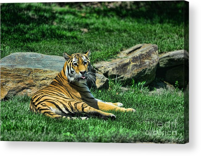 Tiger Acrylic Print featuring the photograph Tiger - Endangered - Lying Down - Tongue Out by Paul Ward