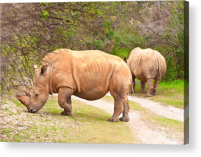 Africa Acrylic Print featuring the photograph White Rhinoceros by Tom Gowanlock