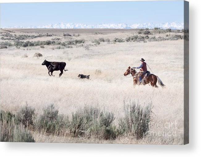 Cowboy Acrylic Print featuring the photograph Round Up by Cindy Singleton
