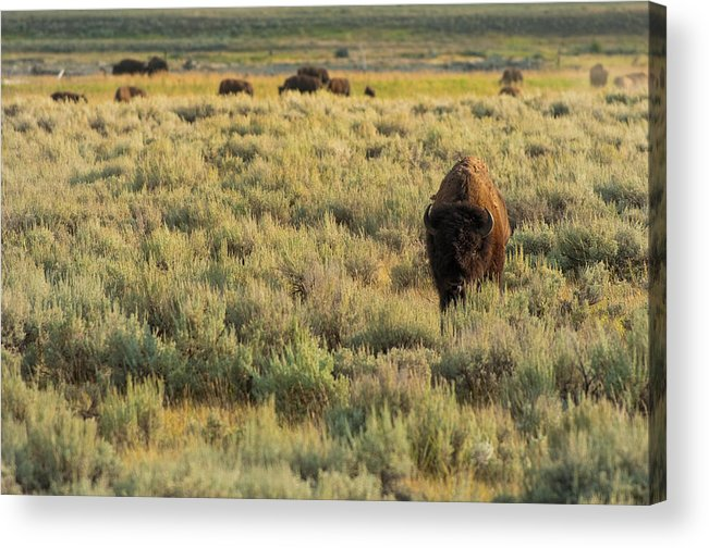 American Bison Acrylic Print by Sebastian Musial