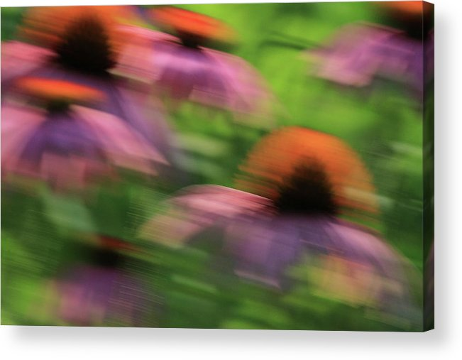 Coneflowers Acrylic Print featuring the photograph Dreaming Of Flowers by Karol Livote