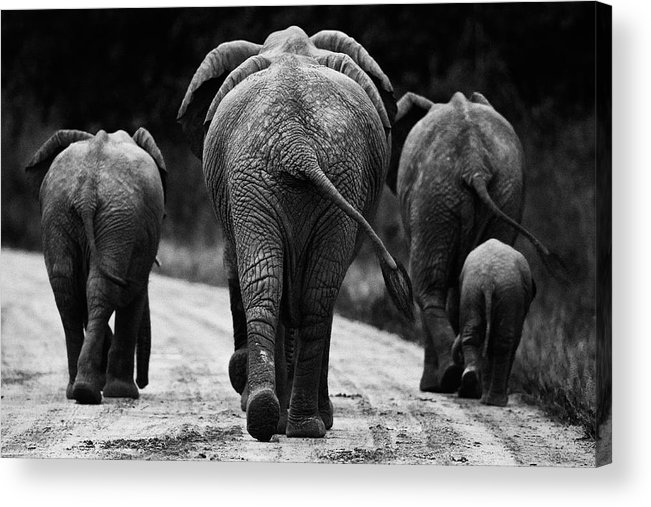 Africa Acrylic Print featuring the photograph Elephants In Black And White by Johan Elzenga