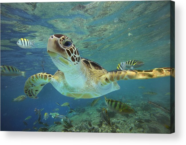 Mp Acrylic Print featuring the photograph Green Sea Turtle Chelonia Mydas by Tim Fitzharris