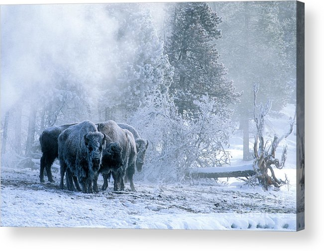 Yellowstone Acrylic Print featuring the photograph Huddled For Warmth by Sandra Bronstein