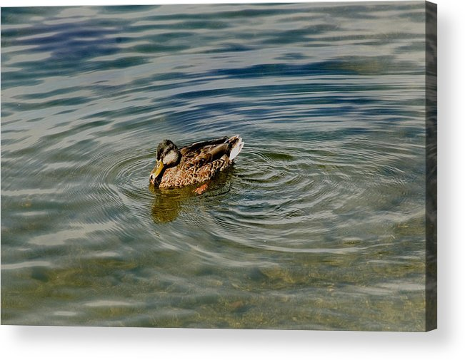 Photography Acrylic Print featuring the photograph Lone Duck Swimming On A River by Todd Gipstein
