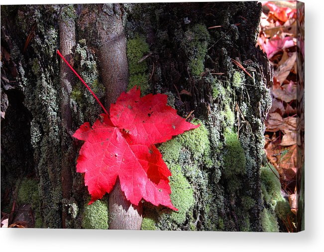 Red Maple Acrylic Print featuring the photograph Maple Leaf Still Life by Charles Warren