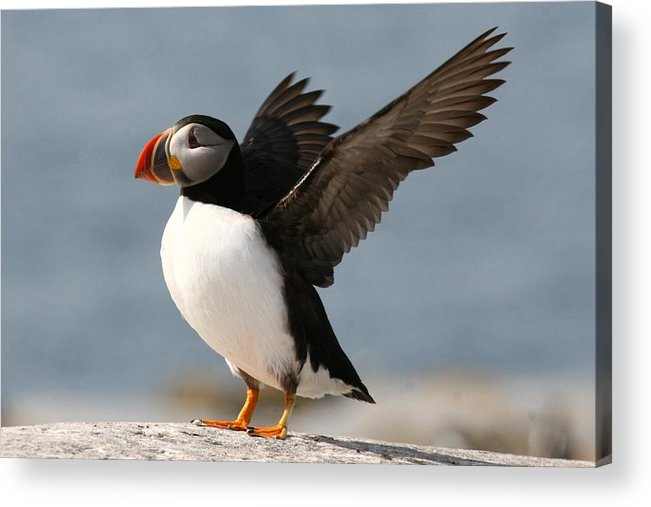 Bird Acrylic Print featuring the photograph Puffin Impersonating An Eagle by Stanley Klein