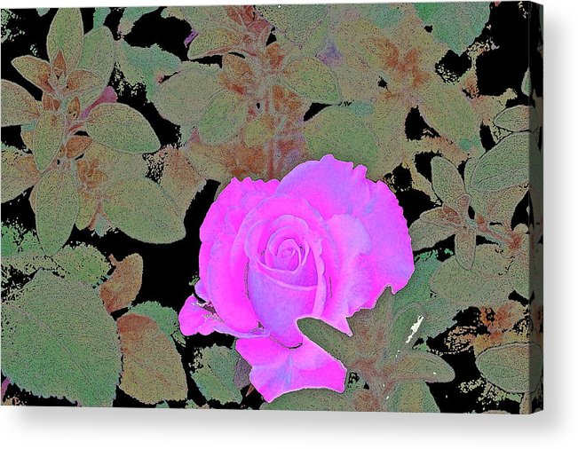 Floral Acrylic Print featuring the photograph Rose 97 by Pamela Cooper
