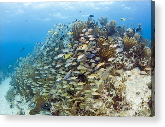 Porkfish Acrylic Print featuring the photograph Schools Of Grunts, Snappers, Tangs by Karen Doody