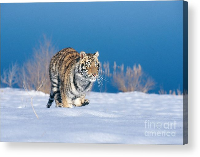 Animal Acrylic Print featuring the photograph Siberian Tiger by Alan Carey