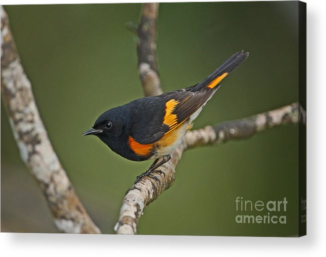 American Redstart Acrylic Print featuring the photograph Male American Redstart by Neil Bowman