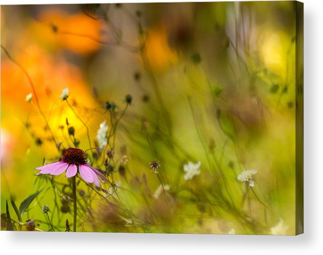 Cone Flower Acrylic Print featuring the photograph Once Upon A Time There Lived A Flower by Mary Amerman