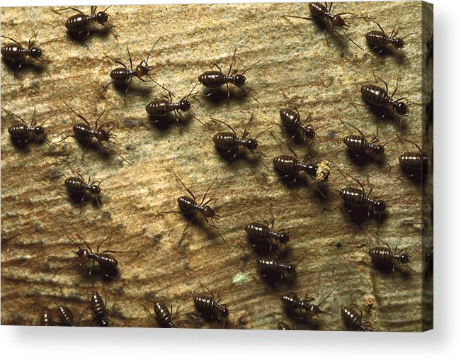 Feb0514 Acrylic Print featuring the photograph Termites On Wood With One Carrying by Konrad Wothe