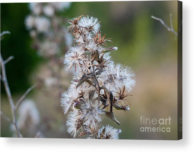 White Acrylic Print featuring the photograph Transition by Barbara Shallue