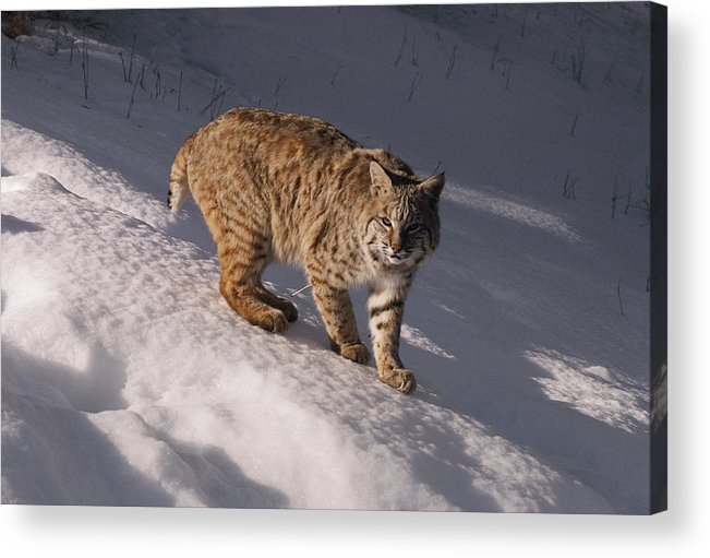 North America Acrylic Print featuring the photograph Bobcat Felis Rufus Prowls Over The Snow by Dr. Maurice G. Hornocker