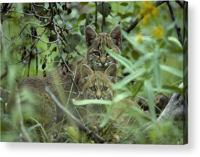 Nobody Acrylic Print featuring the photograph Young Bobcats by Michael S. Quinton