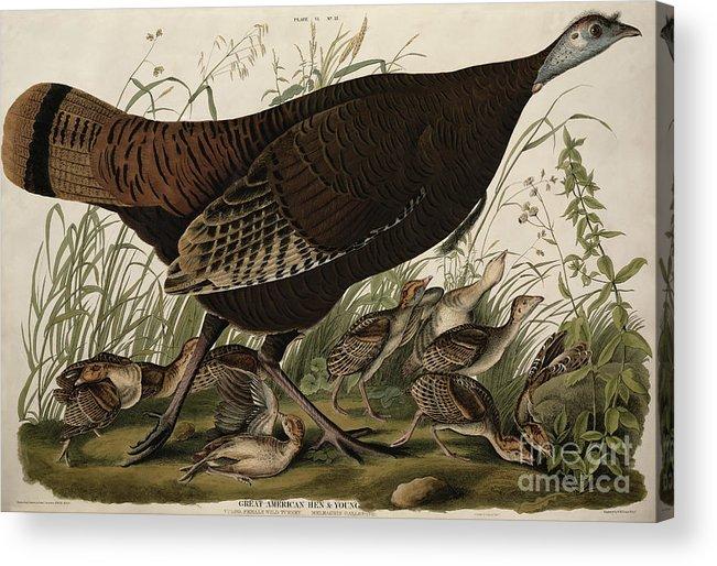 Great American Hen And Young Acrylic Print featuring the painting Great American Hen And Young by John James Audubon