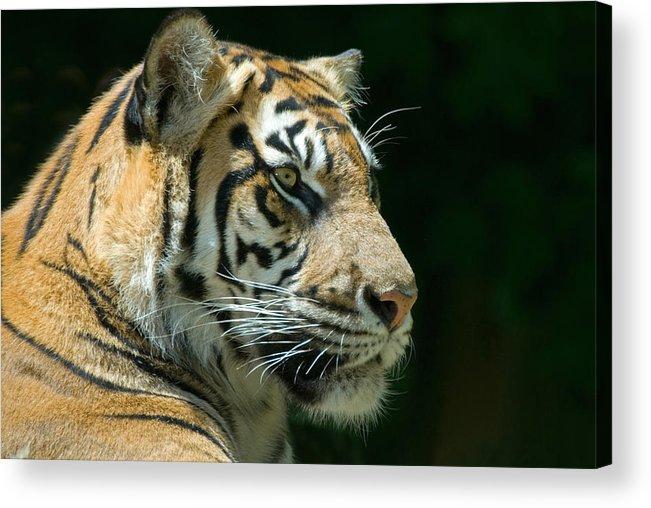 Animal Acrylic Print featuring the photograph Sumatran Tiger by Mary Lane