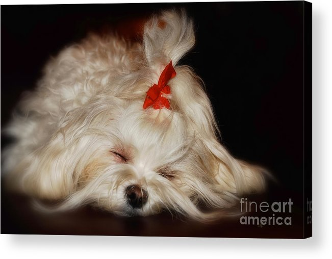 Maltese Acrylic Print featuring the photograph While Sugarplums Danced by Lois Bryan