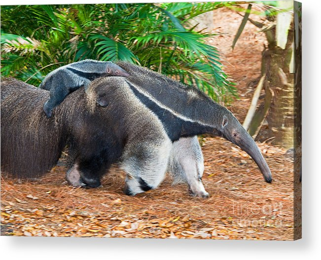 Nature Acrylic Print featuring the photograph Giant Anteater Mother And Baby by Millard H. Sharp