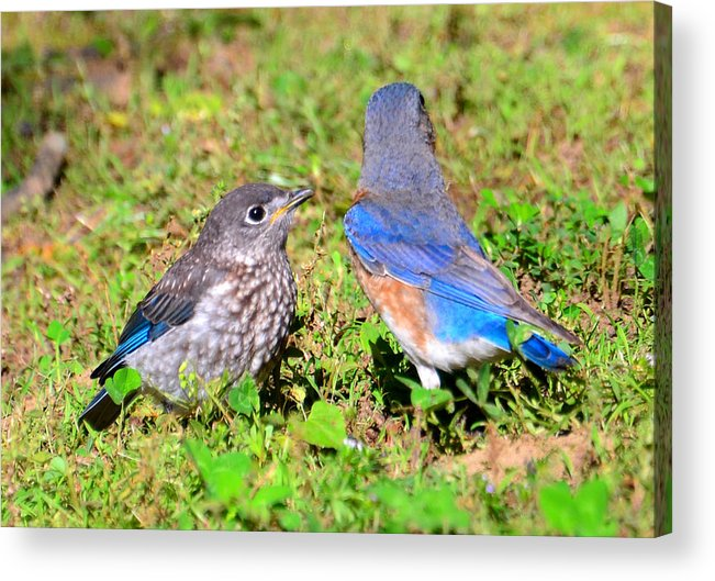 Birds Acrylic Print featuring the photograph A Mothers Care by David Lee Thompson