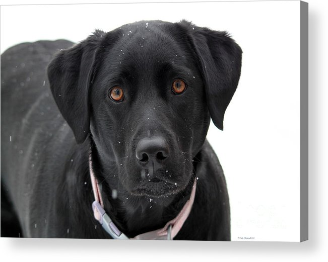 Young Pup Acrylic Print featuring the photograph Can I Come In by Cathy Beharriell